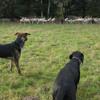 Santo und Cora, ruhig an den Schafen vorbei