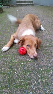 Unser Hund Fine mit dem Ball von Schnüffelfreunde, der über eine sog. Dentalfunktion verfügt. D.h. er massiert das Zahnfleisch und reinigt die Zähne, wenn der Hund darauf rumkaut.